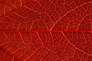 rouge feuille
